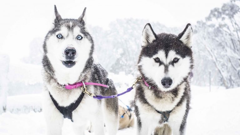All about Siberian Husky, The Smart One For Dog Sleds
