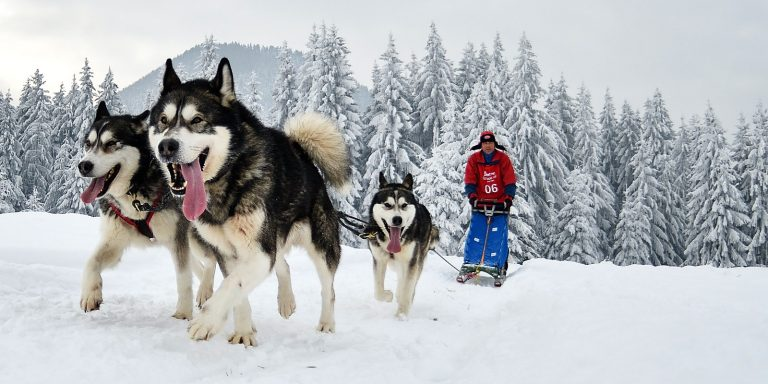 Unique Facts About Alaskan Malamute The Sled Dog