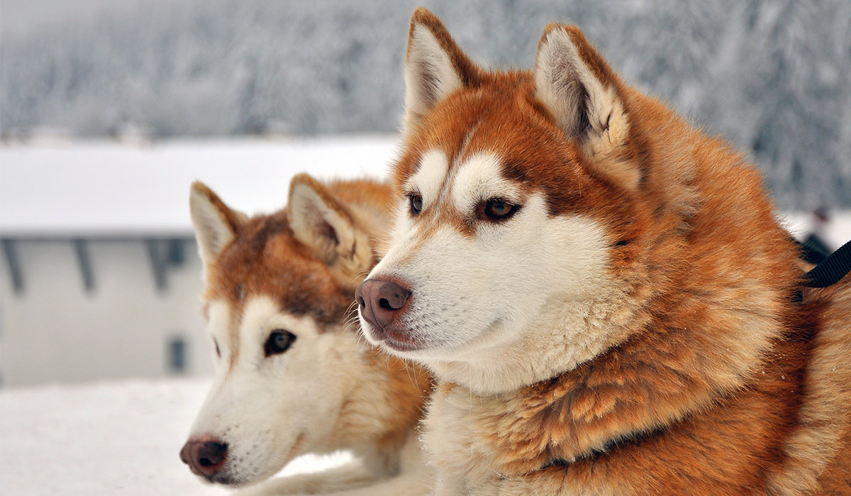 The Type Of Dog That Is Suitable To Be Used As A Dog Sled